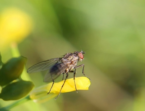 Fly numbers set to peak thanks to hot weather